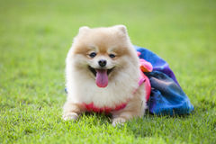 Cane di Pomeranian sul prato inglese Fotografia Stock