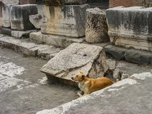Cane di Pompeii Fotografia Stock