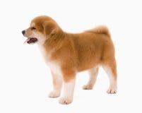 Cane di Puppie Immagini Stock