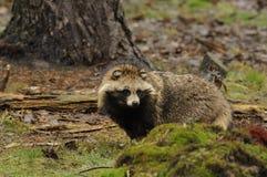 Cane di Raccoon (procyonoides del Nyctereutes) fotografia stock libera da diritti