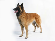 Cane di razza Immagini Stock