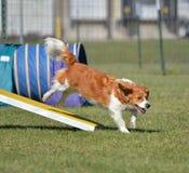 Cane di razza mista alla prova di agilità Fotografia Stock