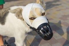 Cane di razza mista in museruola con il muso bendato fotografie stock libere da diritti
