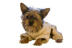 Cane di razza in una tuta tricottata su un fondo bianco Immagini Stock