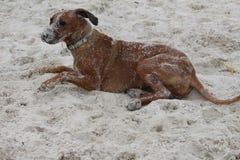Cane di Rhodesian Ridgeback coperto in sabbia Immagine Stock Libera da Diritti