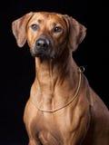 Cane di Ridgeback Fotografia Stock Libera da Diritti