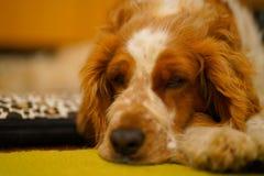 Cane di riposo dello spaniel di imposta della volta di lingua gallese fotografie stock libere da diritti