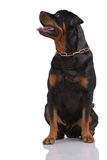 Cane di Rottweiler Fotografia Stock