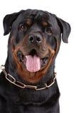 Cane di Rottweiler Immagine Stock Libera da Diritti