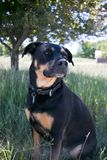 Cane di Rottweiler dentro fotografie stock