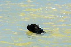 Cane di Rottweiler nell'acqua Fotografia Stock