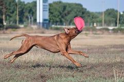 Cane di salto Fotografia Stock Libera da Diritti