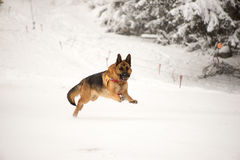 Cane di salvataggio a servizio di salvataggio della montagna Fotografia Stock