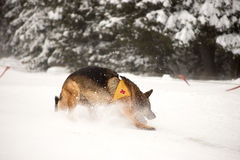 Cane di salvataggio a servizio di salvataggio della montagna Immagine Stock