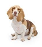 Cane di segugio del bassotto con il cappotto di colore chiaro immagini stock