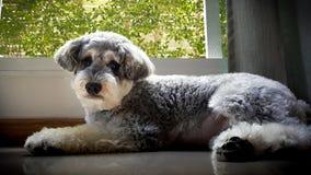 Cane di sguardo arrabbiato dello schnauzer Immagini Stock