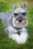 Cane di sguardo arrabbiato dello schnauzer Fotografia Stock Libera da Diritti