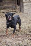 Cane di sguardo arrabbiato/vizioso fotografie stock libere da diritti