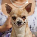 Cane di sguardo divertente della chihuahua immagini stock libere da diritti
