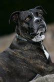Cane di sguardo molto interessato Fotografie Stock