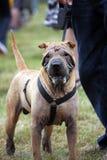 Cane di Shar Pei Fotografie Stock Libere da Diritti