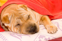 Cane di Sharpei fotografia stock libera da diritti