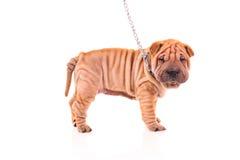 Cane di Sharpei su un guinzaglio Fotografia Stock