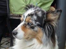 Cane di Sheperd dell'australiano che si siede nella citt? fotografie stock libere da diritti