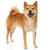 Cane di Shiba Inu Fotografie Stock
