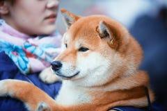 Cane di Shiba Inu Fotografia Stock
