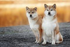 Cane di shiba-inu due in parco Fotografie Stock Libere da Diritti