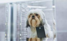 Cane di Shih Tzu immagini stock