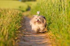 Cane di Shih Tzu fotografia stock libera da diritti