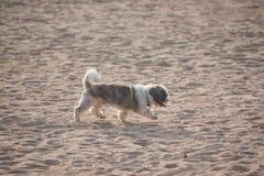 Cane di Shih Tzu che cammina sulla spiaggia immagini stock