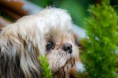 Cane di Shih-Tzu con poco albero nel fondo fotografia stock