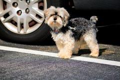 Cane di Shihtzu fotografia stock libera da diritti