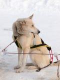 Cane di Sleigh che si siede nella neve Fotografia Stock
