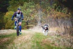 Cane di slitta che tira la bici con l'uomo, Mushing fuori dalle gare di corsa campestre della neve in tempo autunnale tipico Foto immagini stock libere da diritti