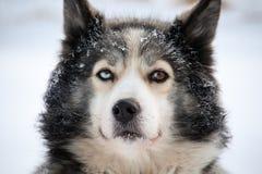 Cane di slitta con gli occhi multicolori Fotografia Stock Libera da Diritti