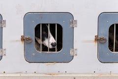Cane di slitta limitato in scatola di cane fotografie stock libere da diritti