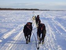 Cane di slitta nell'Alaska Fotografia Stock