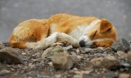 Cane di sonno Immagini Stock