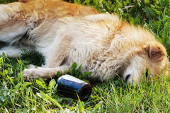 Cane di sonno con la bottiglia dell'alcool Fotografia Stock