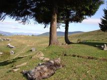 Cane di sonno nei Carpathians ucraini Fotografie Stock Libere da Diritti