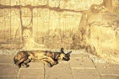 Cane di sonno sotto i geroglifici egiziani a Karnak Fotografia Stock Libera da Diritti