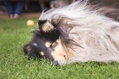 Cane di sonno su un'erba Immagine Stock