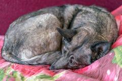 Cane di sonno sul sofà in salone fotografie stock