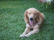 cane di sorriso Fotografia Stock Libera da Diritti