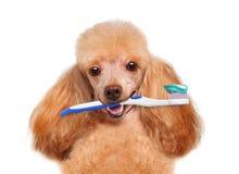 Cane di spazzolatura dei denti Fotografie Stock Libere da Diritti