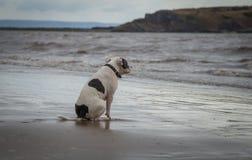 Cane di Staffordshire bull terrier che esamina nel mare la giumenta di Weston Super fotografia stock libera da diritti